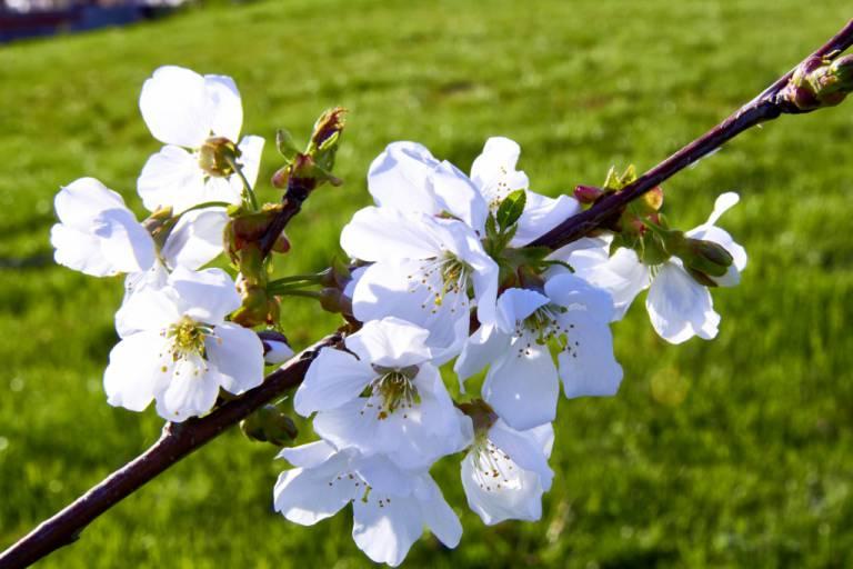 cerisier en fleur.jpg