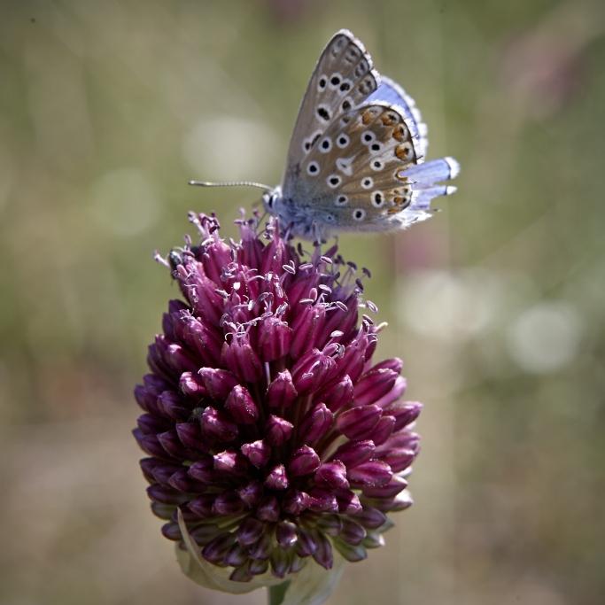 fleurs papillon.jpg